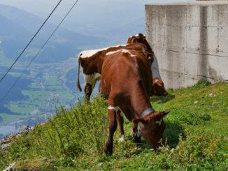 Kühe erschrecken geht gar nicht!